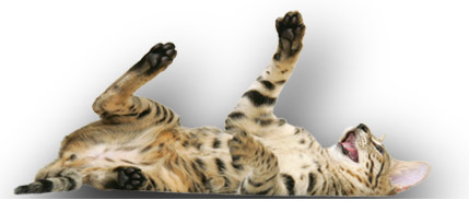 Halestone Poppy - Savannah Cat